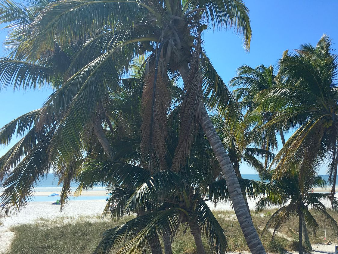 Coconuts on the Tree Tops