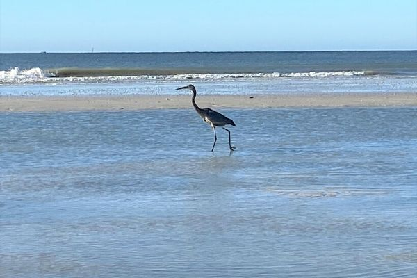 Tall Heron at Low Tide
