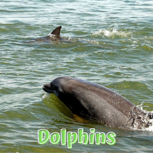 Dolphins in Fort Myers Beach